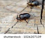 a rhinoceros beetle on a cut of ... | Shutterstock . vector #1026207139