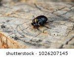 a rhinoceros beetle on a cut of ... | Shutterstock . vector #1026207145