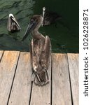 Brown Pelican Standing On A...