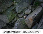 atlantic puffin very close to... | Shutterstock . vector #1026230299