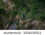 lonely puffin staying and... | Shutterstock . vector #1026230311