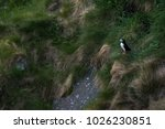 solitary atlantic puffin... | Shutterstock . vector #1026230851