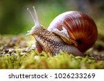 Helix pomatia also roman snail  ...