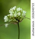 Small photo of Macro photography of a wild flower (Allium victorialis)