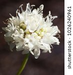 Small photo of Macro photography of a wild flower (Cephalaria leucantha)