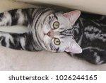 american shorthair cat | Shutterstock . vector #1026244165