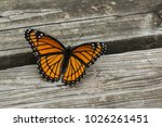 Viceroy Butterfly On Boardwalk
