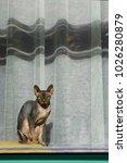 bald hairless sphinx cat ... | Shutterstock . vector #1026280879