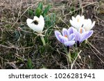 The First Crocuses Are White...