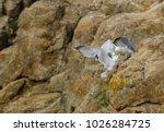 Two Yellow Legged Seagulls In ...