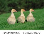 An Image Of Three Ducklings
