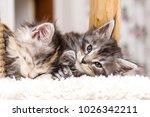 Stock photo portrait of maine coon cat kitten adorable 1026342211