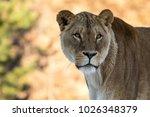Female Lion  Panthera Leo ...