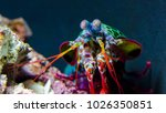 Peacock Mantis Shrimp...