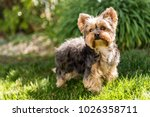 Little Yorkshire Terrier posing an grass. Yorkie Dog