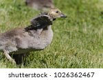 Young Canadian Goose Testing...