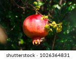 Red Pomegranate Fruit Hangs On...
