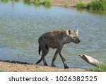 hyena on the shore of the lake... | Shutterstock . vector #1026382525