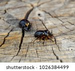 a rhinoceros beetle on a cut of ... | Shutterstock . vector #1026384499