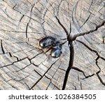 a rhinoceros beetle on a cut of ... | Shutterstock . vector #1026384505