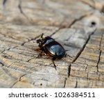 a rhinoceros beetle on a cut of ... | Shutterstock . vector #1026384511