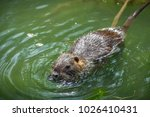adult beaver eating a plant.... | Shutterstock . vector #1026410431