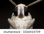 Extreme Macro Shot Gypsy Moth ...