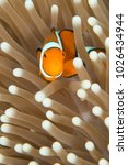 Anemone Fish Barrier Reef