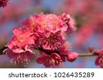 japanese apricot blossoms | Shutterstock . vector #1026435289