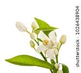 flowering citrus. spring. white ... | Shutterstock . vector #1026438904