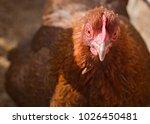 Partridge Cochin Hen