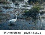 great egret on the swamp....   Shutterstock . vector #1026451621
