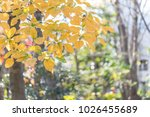 autumn leaves of trees in park   Shutterstock . vector #1026455689