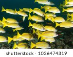Small photo of Four snapper fish