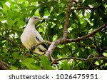 a torresian imperial pigeon ... | Shutterstock . vector #1026475951