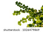 green cocount leaf of  palm...   Shutterstock . vector #1026479869