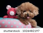 Cute Toy Poodle Resting In Dog...