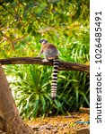 Small photo of Ring tailed lemur in Thai, Thailand.