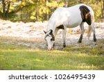 wild pony  equus caballus  at... | Shutterstock . vector #1026495439
