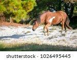 wild pony  equus caballus  at... | Shutterstock . vector #1026495445