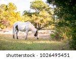 wild pony  equus caballus  at... | Shutterstock . vector #1026495451