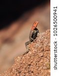 Small photo of The common agama, red-headed rock agama, is a species of lizard from the Agamidae family found in Africa.