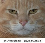 Large Tabby Cat Face  Close Up...