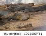 Small photo of The Nile crocodile is an African crocodile, the largest freshwater predator in Africa, and may be considered the second largest extant reptile in the world