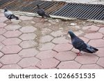 Pigeons On The Pavement.
