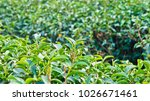 tea plantation in chiang rai ... | Shutterstock . vector #1026671461