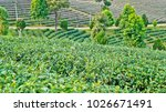 tea plantation in chiang rai ... | Shutterstock . vector #1026671491