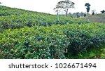 tea plantation in chiang rai ... | Shutterstock . vector #1026671494