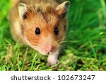 Curious Male Syrian Hamster...