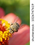 Small photo of Macro view from the front of the Caucasian furry small and gray bee Amegilla albigena collecting nectar on the yellow inflorescence of the orange-pink flower Zinnia
